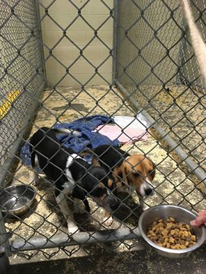 Beagles Found